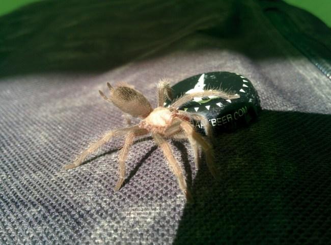 Pissed Baby Tarantula Found In My Hat Near Parker, AZ