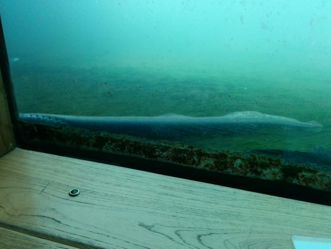 lamprey at the fish ladder window