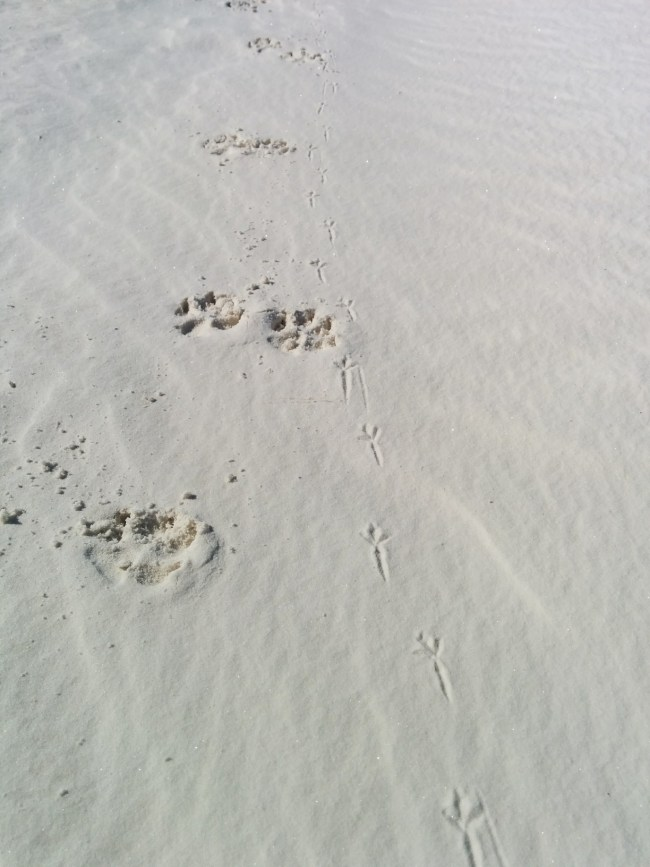 Willow's Paw Prints Along Side Apache Pocket Mouse Tracks (I Think)
