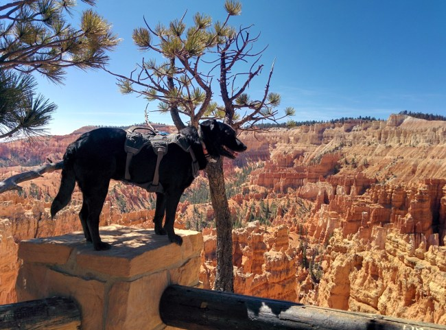 Willow with her harness on looking out over some hoodoos