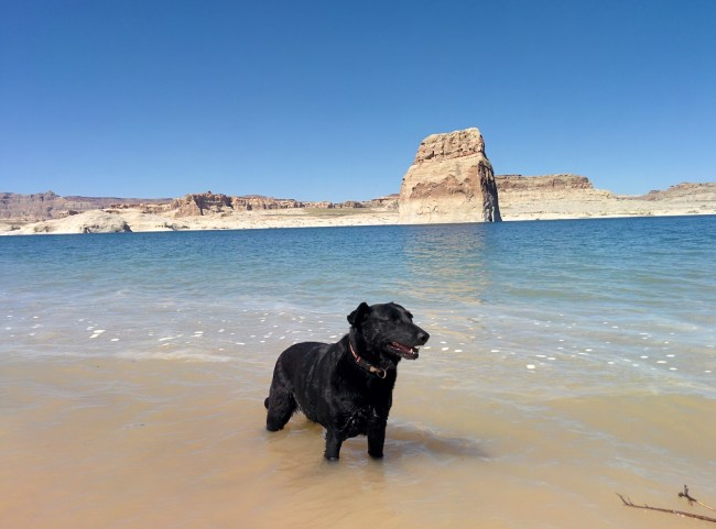 Willow Cooling Off Her Hot Feet In Lake Powell, Lone Rock behind her