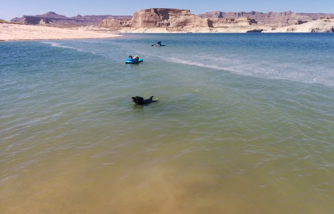 Willow taking a short swim to fetch a small stick in Lake Powell