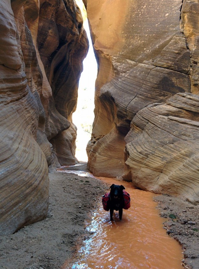 Willow standing in the orange silty water of Willis Creek waiting yet again for her slower human
