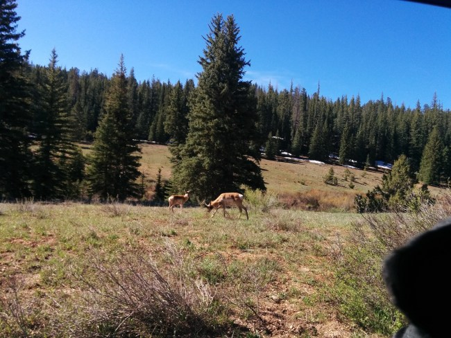 Pronghorn at the side of the road