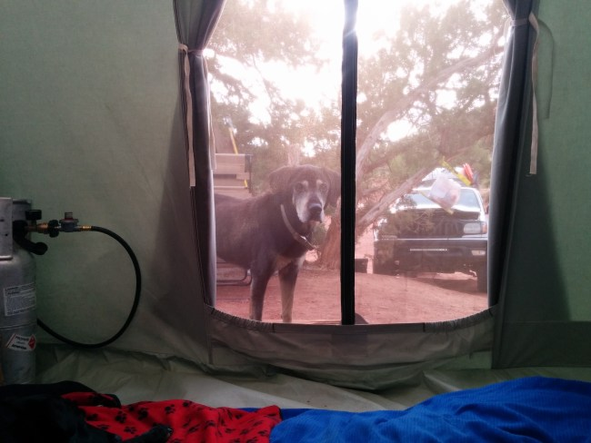stanger dog looking into and wanting in to our tent