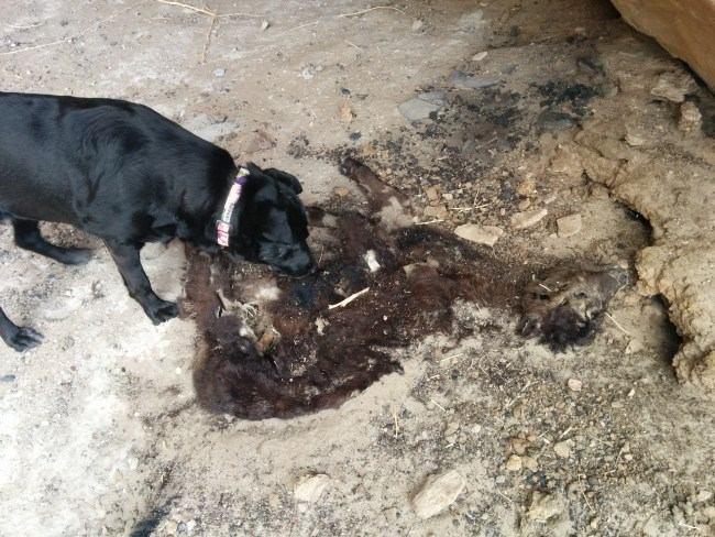 Willow Sniffing The Butt And Guts of a decomposed baby cow