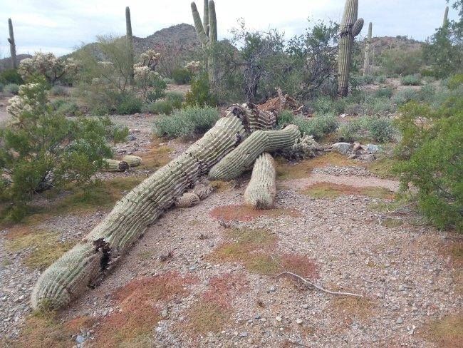Large, fallen, dead Saguaro cactus