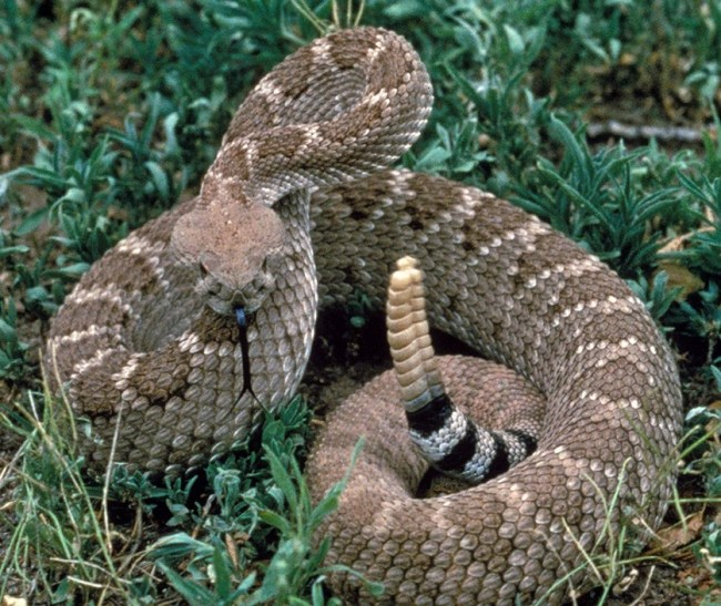 A Western Diamond-backed Rattlesnake (not ours) Coiled In Defensive Posture With Rattle Erect