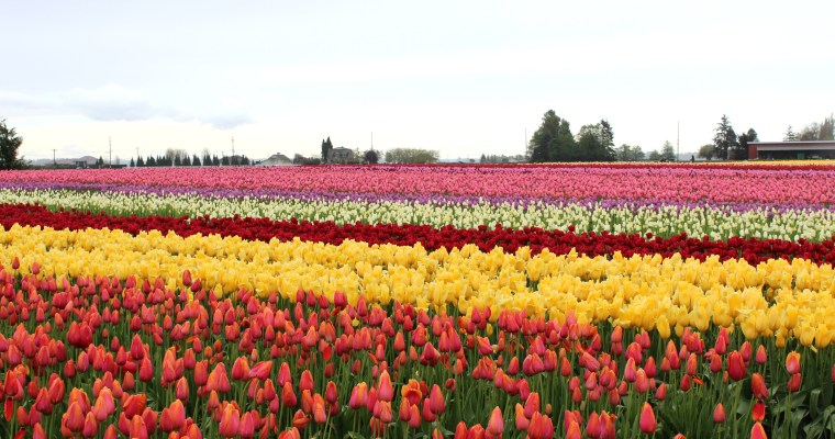 A Rainy Day Visit to the Skagit Valley Tulip Festival