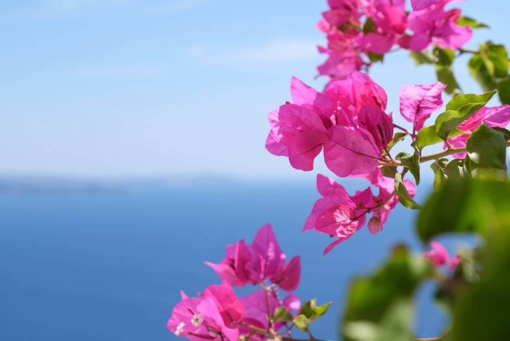 Santorini Flowers