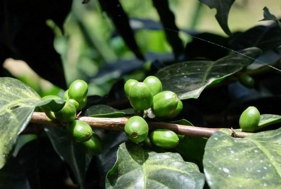 Coffee Bean Salento