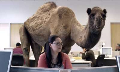 humpday-geico-camel