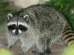 Things That Raccoons Really Like, and You'll Really Like Them Too For Your Hair (I'm Not Kidding)