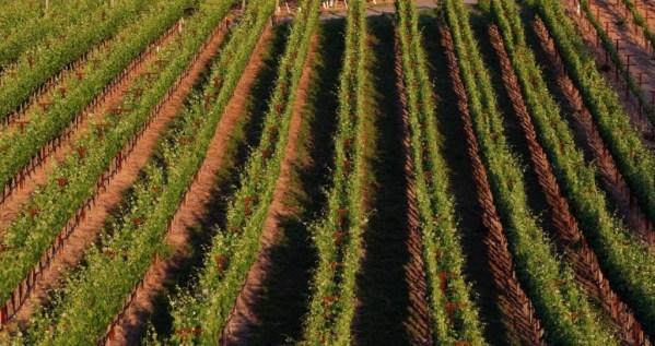 Palmaz Winery vineyards