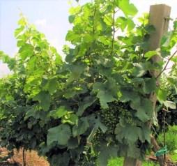a photo of glera grapes in vineyard
