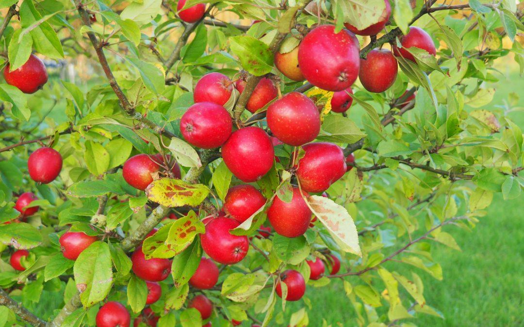 Æblerne i Pometet!