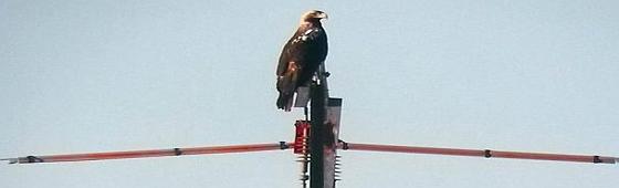 Águila imperial ibérica posada sobre un poste aislado. Foto: SIECE