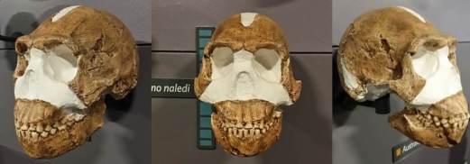Evolución humana. Cráneo de Homo naledi. Crédito: Roberto Sáez