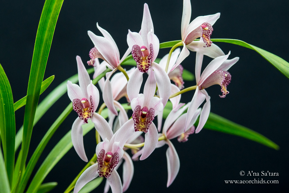 Cymbidium Cherry Blossom 'Profusion' orchid images
