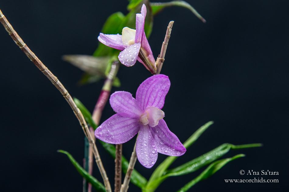 Dendrobium Pfeiff's Kaleidoscope orchid images