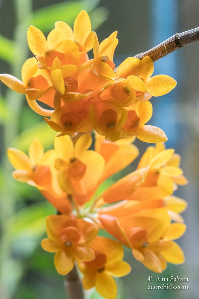 Dendrobium subclausum var speciosum