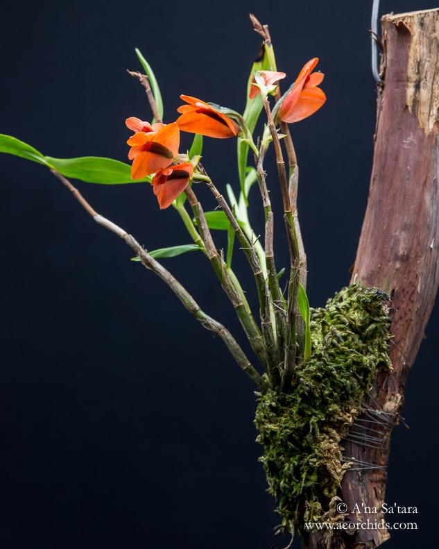 Dendrobium vexillarius orchid images