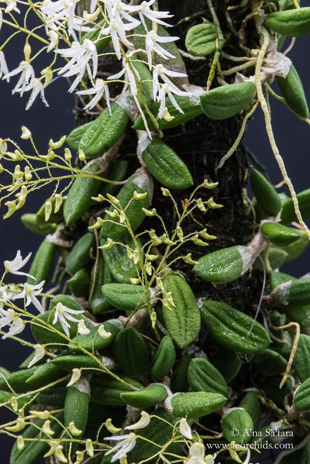 Dockrillia (Dendrobium) inguiformis orchid images