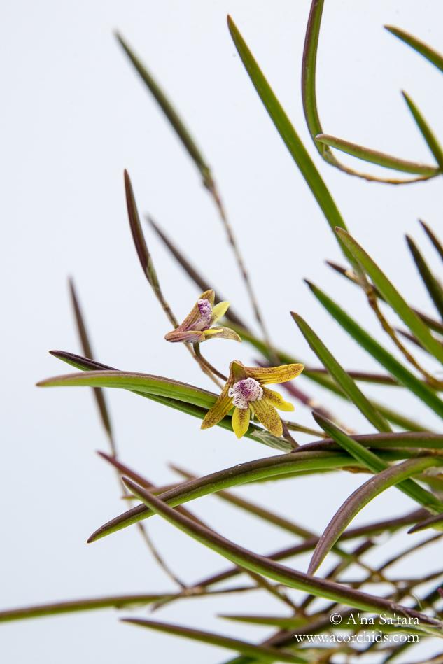Dockrillia striolata x Dendrobium Ida Mary orchid images