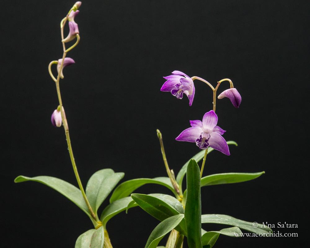 Dendrobium kingianum 'AEO 2' orchid images