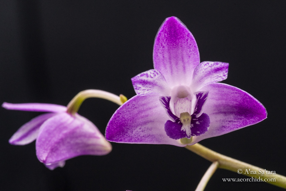 """Dendrobium kingianum 'AEO"""" orchid images"""