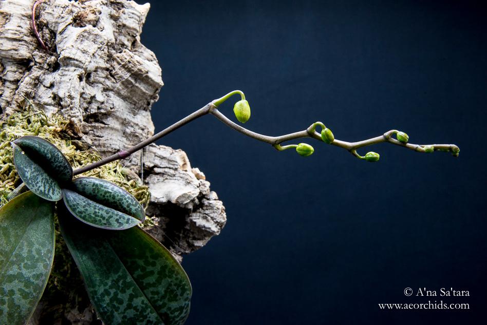 Phalaenopsis stuartiana 'Sogo' orchid images