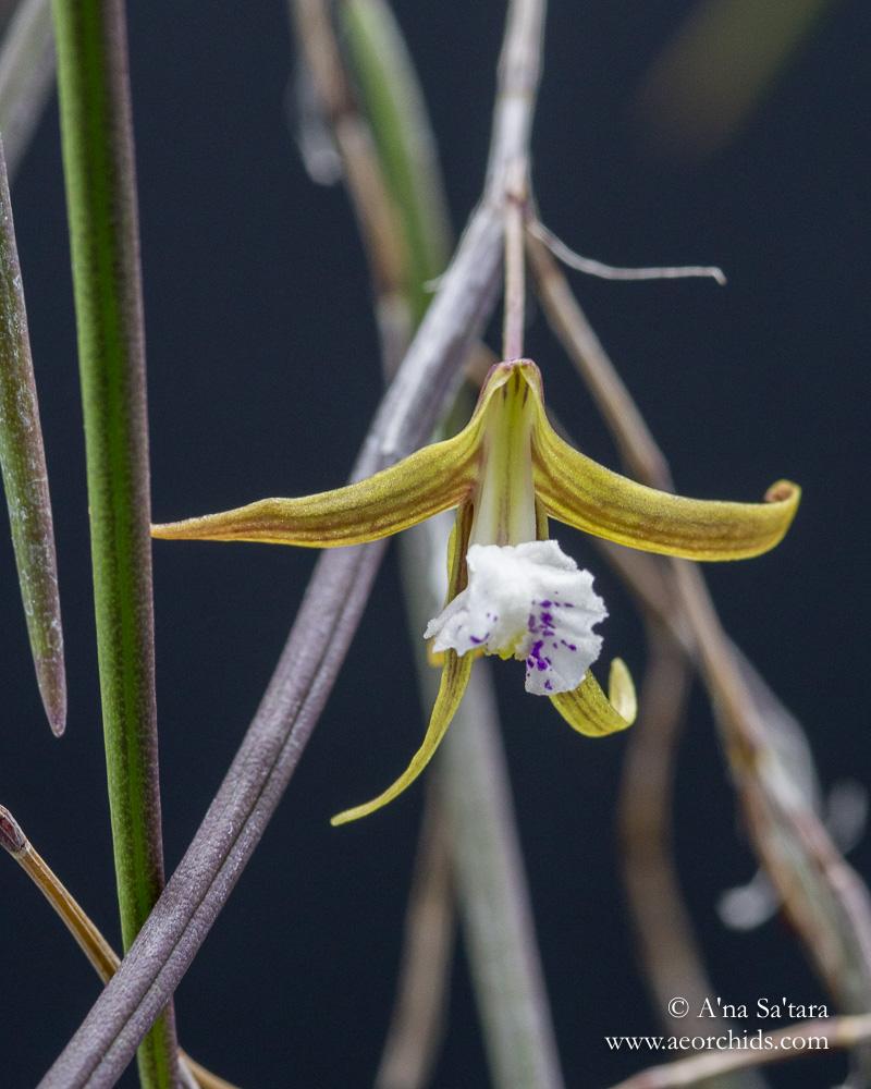 Dockrillia (Dendrobium) Julia Skillcorn orchid images