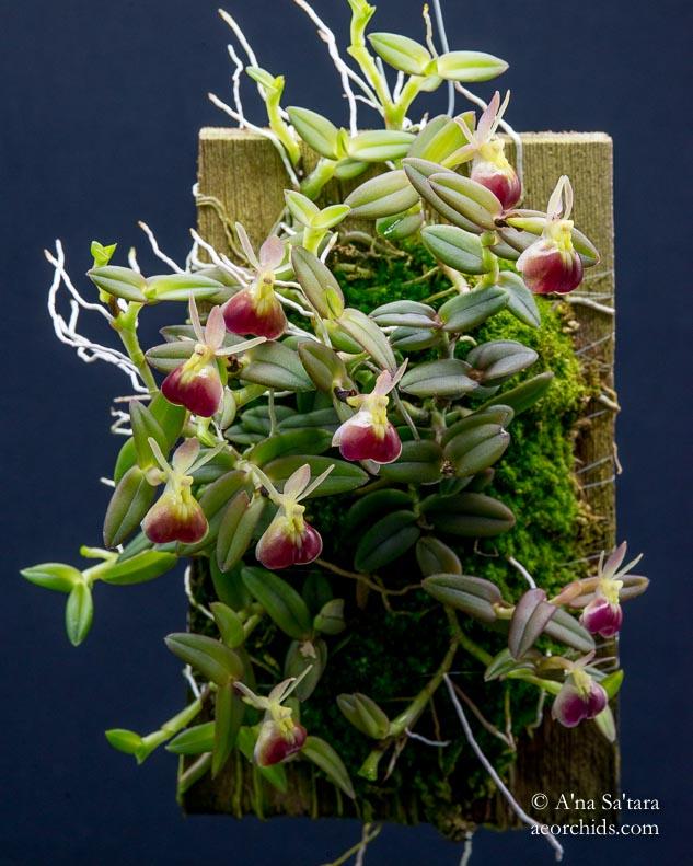 Epidendrum porpax (peperomia)