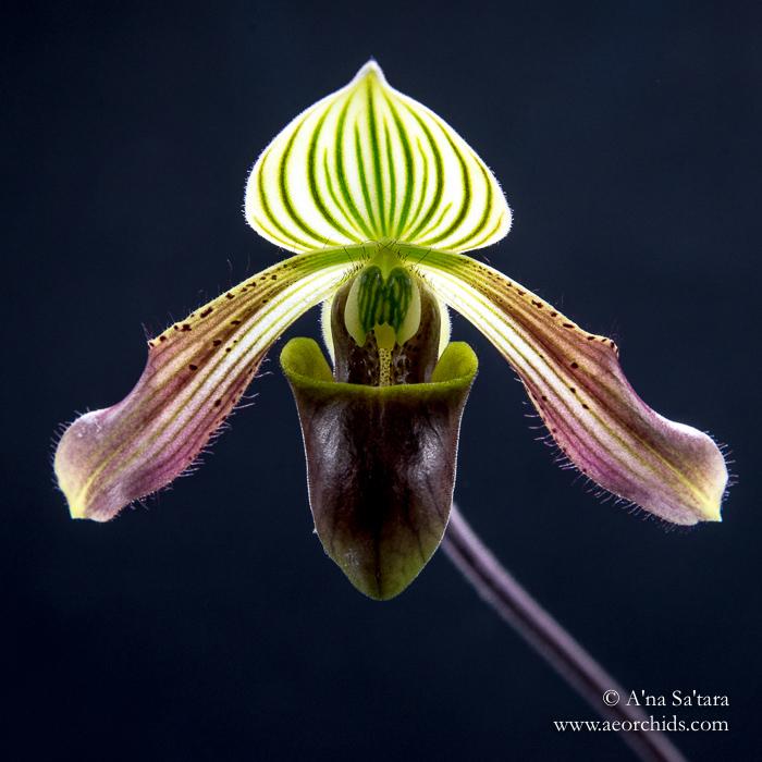 Paphiopedilum urbanianum orchid images
