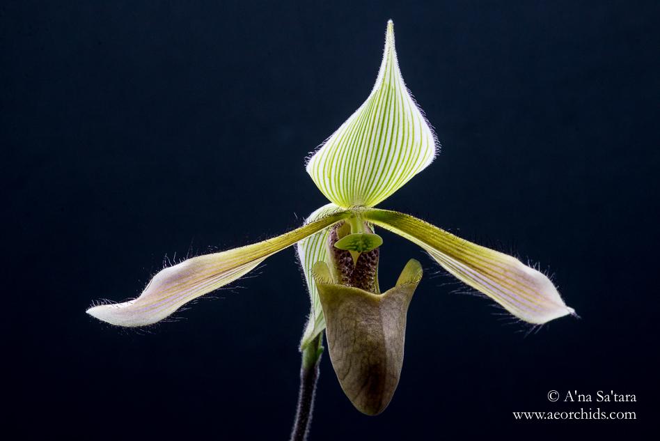 Paphiopedilum dayanum orchid images