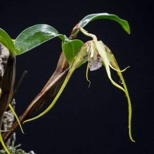Dendrobium tetragonum var. giganteum (syn. Dendrobium capitisyork)