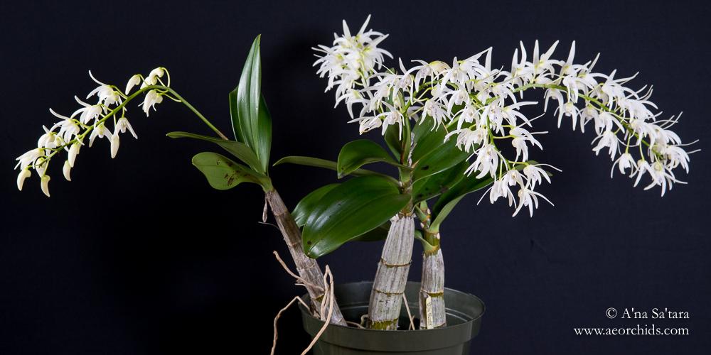 Dendrobium Ruppiosum orchid images