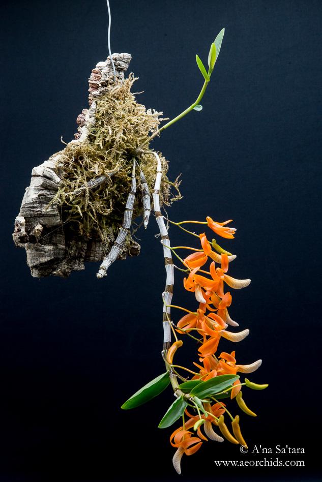 Dendrobium unicum (Vietnam form) orchid images