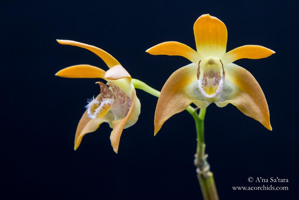 Dendrobium fleckeri orchid images