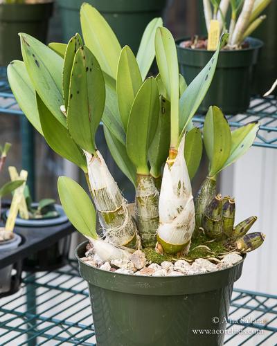 Dendrobium orchid virus ORSV CymMV