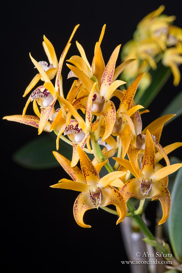 Dendrobium Avril's Gold 'Dark & Spotty' AM/AOS orchid images