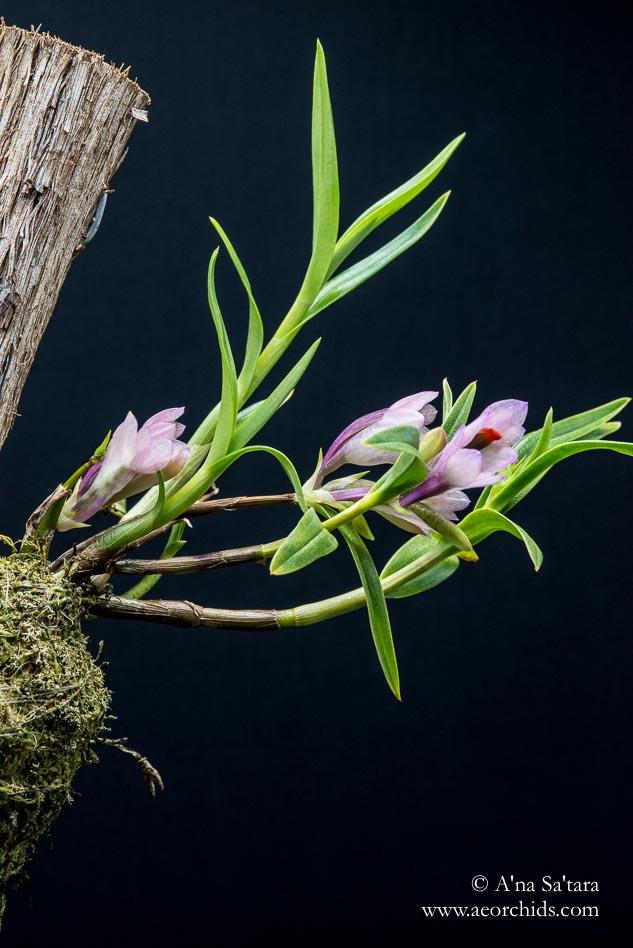 Dendrobium vexillarius (pink) orchid images