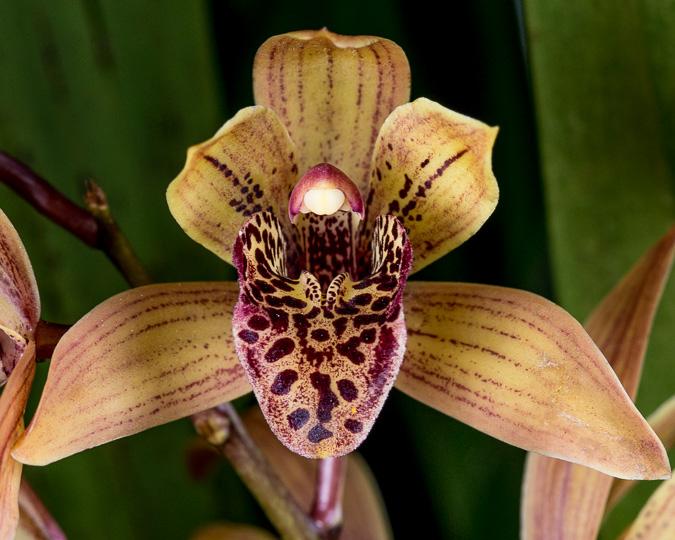 Orchid Images Cymbidium