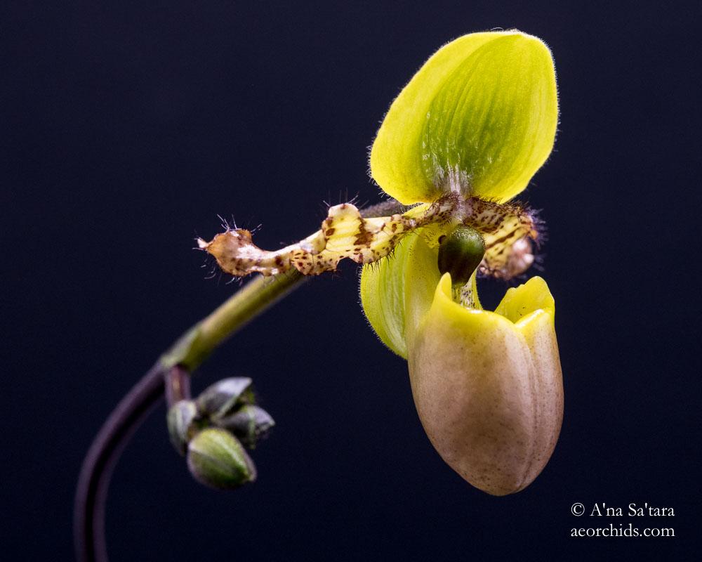 Paph primulum fma. purpurascens