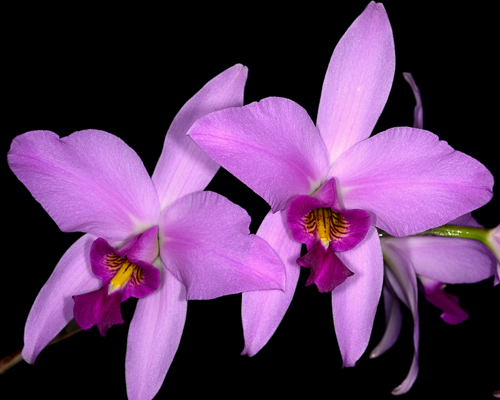 Laelia anceps orchid taxonomy