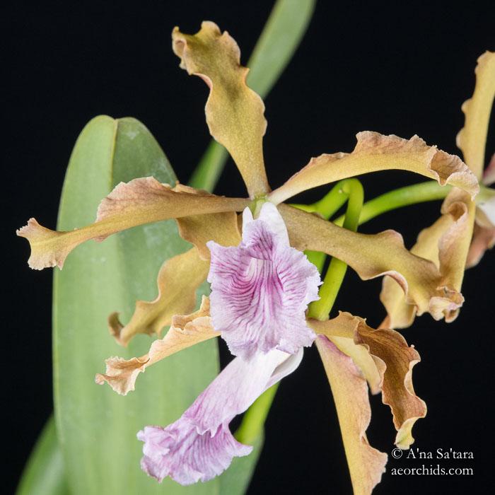 Laelia (Cattleya) grandis