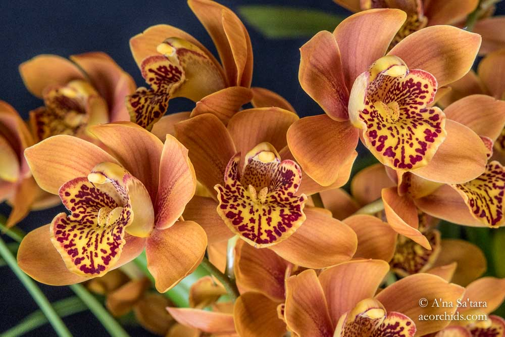Cymbidium Enzan Forest