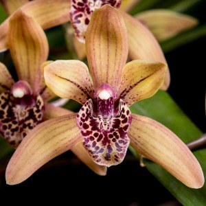 Cymbidium Devon Elf