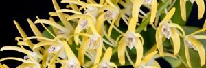 Australian Dendrobium photography