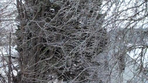 Frozen Rain on tree branches.